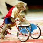 Cho Thuê Xiếc Khỉ